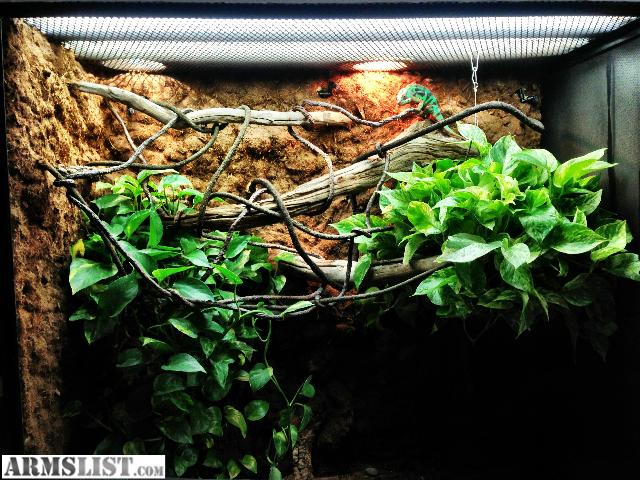 ARMSLIST - For Sale/Trade: Panther chameleon and cage