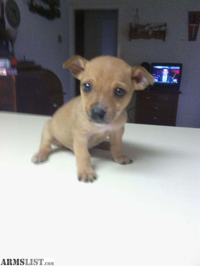 ARMSLIST - For Sale: CHIHUAHUA PITBULL MIX. LOOKS LIKE TOY PIT