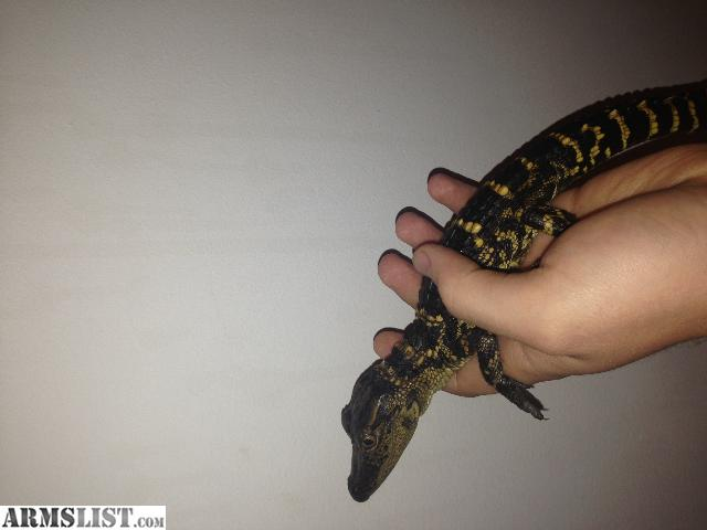 ARMSLIST - For Sale: Baby American Alligator for trade