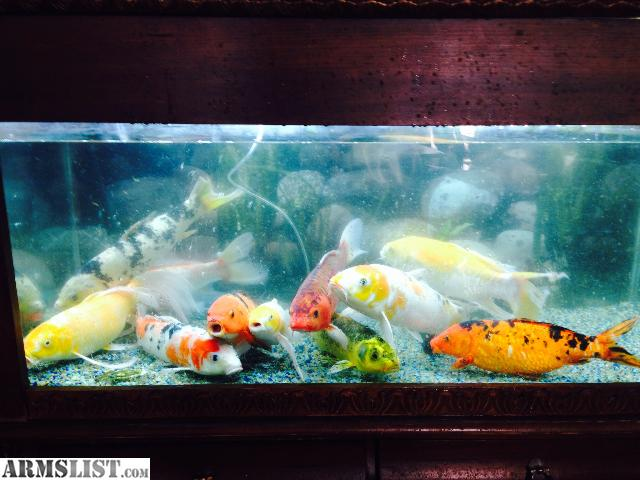 Armslist for sale 6 big japanese koi over 12 trade for gun for Japanese koi for sale near me